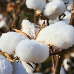 Cotton importer in Bangladesh